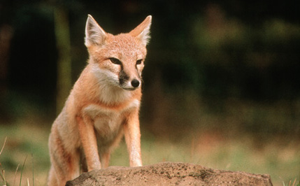 The Tale of the Canadian Swift Fox's Comeback (That Almost Wasn't)