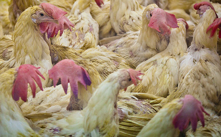 Organic Doesn't Mean Humane for Poultry