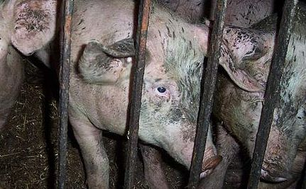 HSUS Exposes Severe Animal Abuse at Wyoming Meat Processing Plant