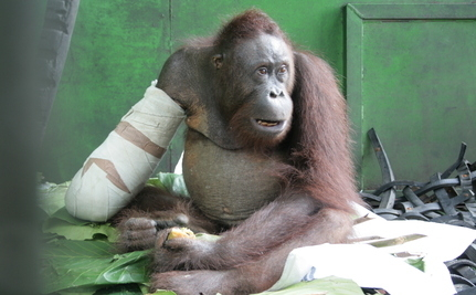 Update: Orangutan Caught In Snare Has Surgery
