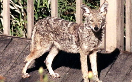 Coexisting in the City: Coyotes and Humans Meet and Mingle