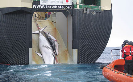 "Japanese Ships to Kill 260 Whales in Name of ""Science"""