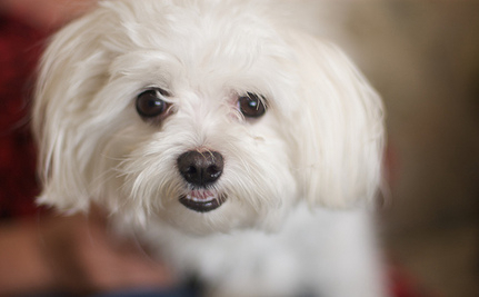 Finding A Groom For Dying Celebrity Dog, Lucky
