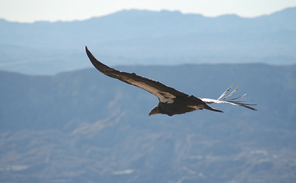 Lawsuit Launched to Save California Condors