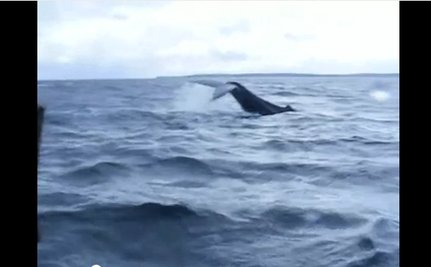 Whale Rescue Drama Filmed (Video)