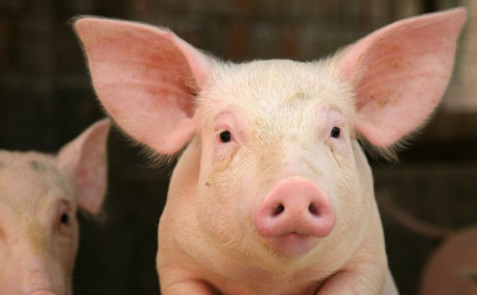 "Help Save ""Enviropigs"" From Untimely Deaths"