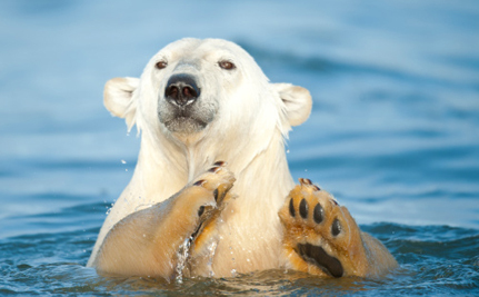 Support a Ban on the Commercial Trade of Polar Bear Parts