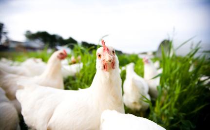 Lawsuit Seeks Justice for 50,000 Abandoned Hens