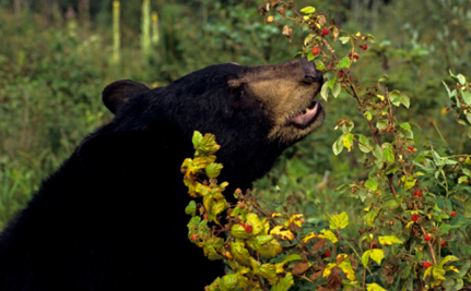 Canucks Player Under Fire for Bear Baiting