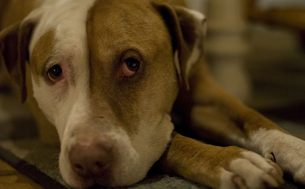 Grieving Pit Bull Refused to Leave Companion's Side