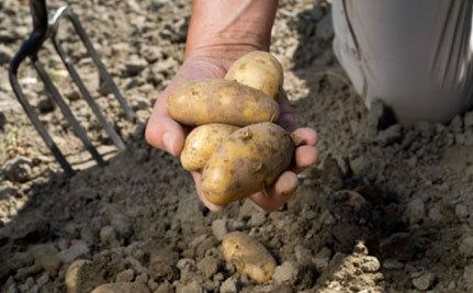 Calgary Digs Out Potato People