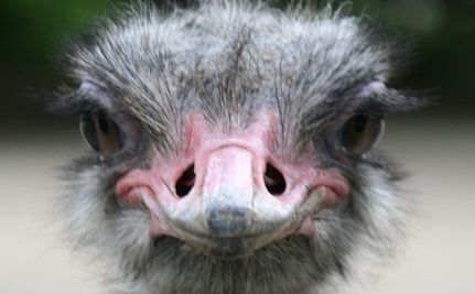How to Talk to An Ostrich (Video)