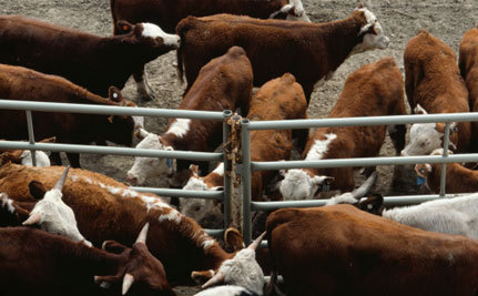 BC Law Could Hide Animal Disease Outbreaks