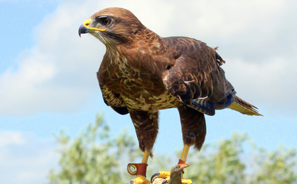 Britain Going Backwards on Raptor Protection?