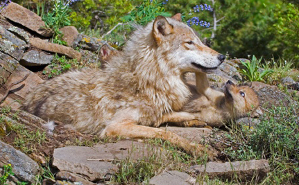Wolves Killed in Snares Outside of Alaska National Park