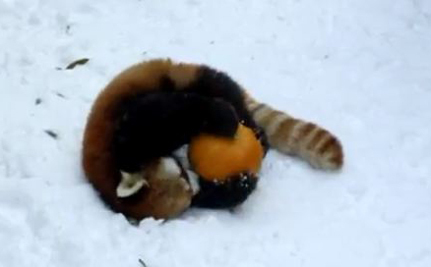 Red Panda Playing With A Pumpkin (Video)