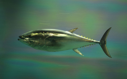 Fukushima Radiation Reaches US in Bluefin Tuna