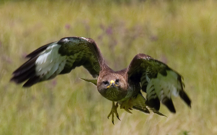 Success! UK Backs Down on Buzzard Plan