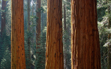 California's Smog Problem Putting Giant Sequoia Redwoods At Risk