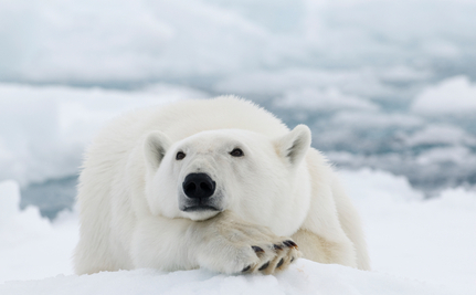 A Make or Break Moment for Polar Bears
