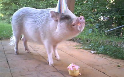 Pet Pig Conquers Stairs and Birthday Cake (Video)