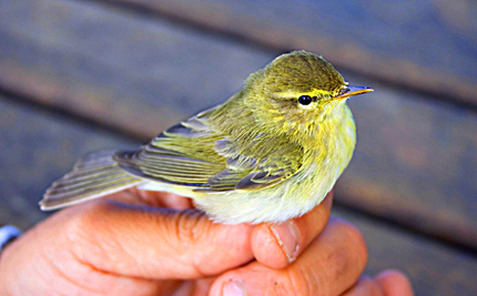 Rescuer Helps Drunken Warbler Return to Sky