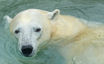 Polar Bear Uses a Stone to Shatter Its Zoo Enclosure (Video)