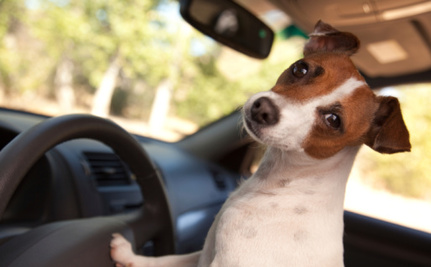 $1000 Fine for Pets Without Seat Belts