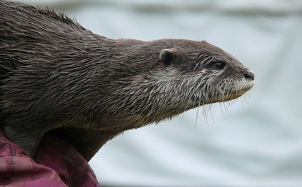 River Otter and Dog Become Fast Friends (Video)