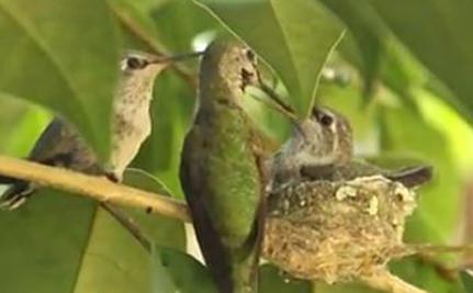MUÑECO RUBÍ-THROATED | El Atlas de aves reproductoras de Texas