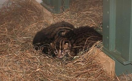 Newborn Fishing Cats At National Zoo Are Cute And Important