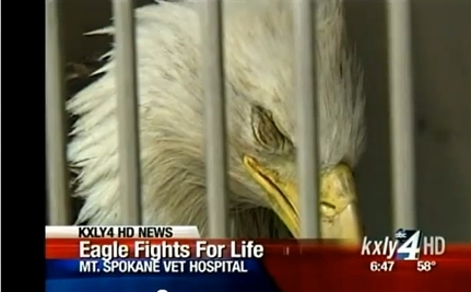 Washington Man Saves Bald Eagle (Video)