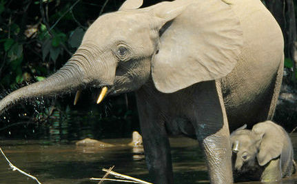 Will Africa's Elephants be Extinct in 10 Years?