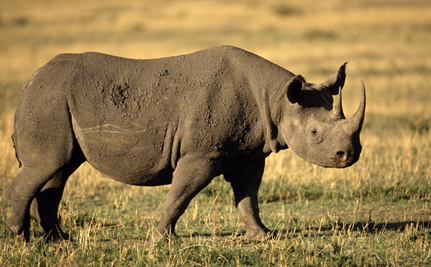 We Must Stop Rhino Poaching