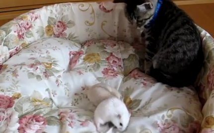 The Kitten Who Feared Hamsters (VIDEO)