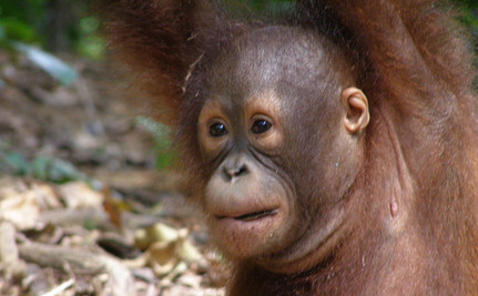 Species Gravely Endangered by Global Trade of Commodities like Palm Oil