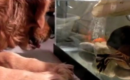 Golden Retriever Really Wants That Goldfish (Video)