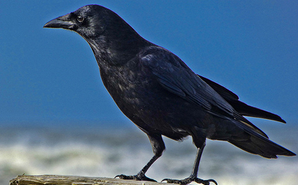 6 Scary Truths About Crows (Video)