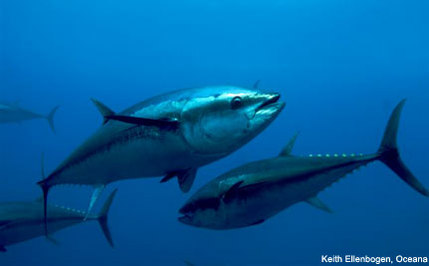 The Bottom Line: Bluefin Tuna Need You Now