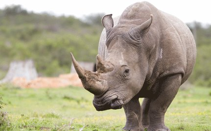 On-The-Ground Fight Essential to Rhino's Future
