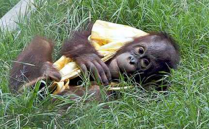 Unlawful Pet Trade Claims The Life Of Baby Orangutan