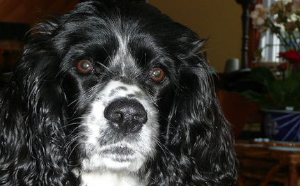 Woman Grieving Over Cocker Spaniel Amazingly Reunited With Lost Dog