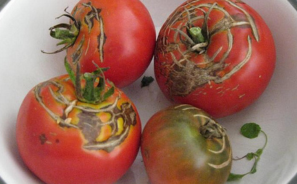 Mystery of the Very Red But Tasteless Tomato Solved!
