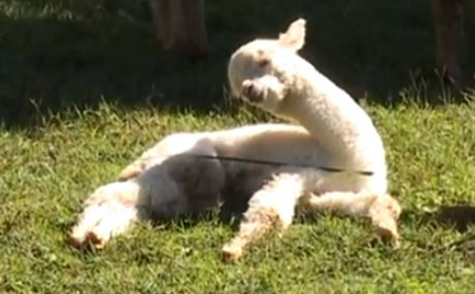 Baby Alpaca Just Can't Stay Awake! (Video)
