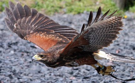 UPDATE: Wimbledon's Rufus the Hawk Found! (Video)