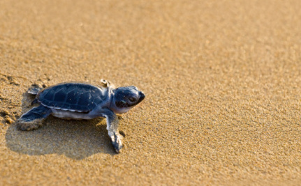 High Temps Scorch Endangered Sea Turtle Eggs