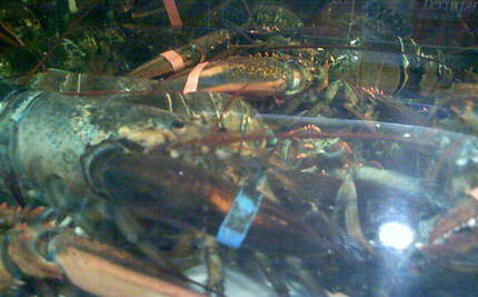 German Couple Orders Lobsters, Sets Them Free