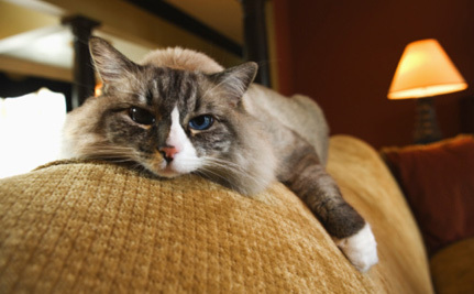 Cat Parasite Increases Suicide Risk?