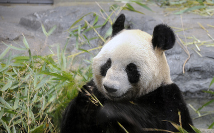 Panda Born in Tokyo Zoo: Will Panda-monium Follow? (Video)