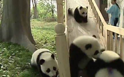 Hilarious Sliding Pandas (Video)